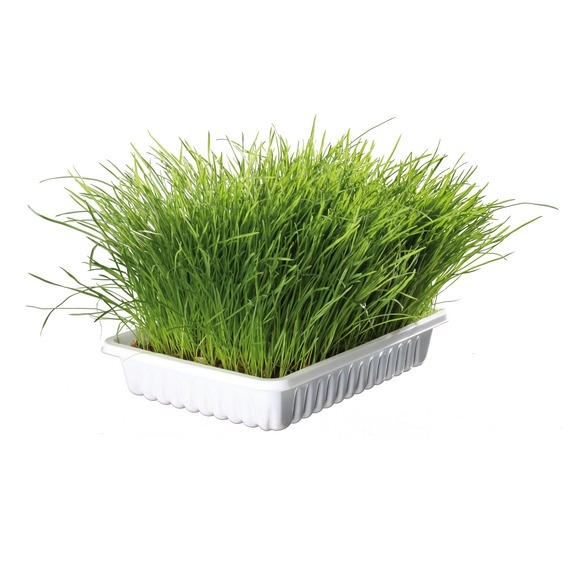 Трева за котки 100гр.